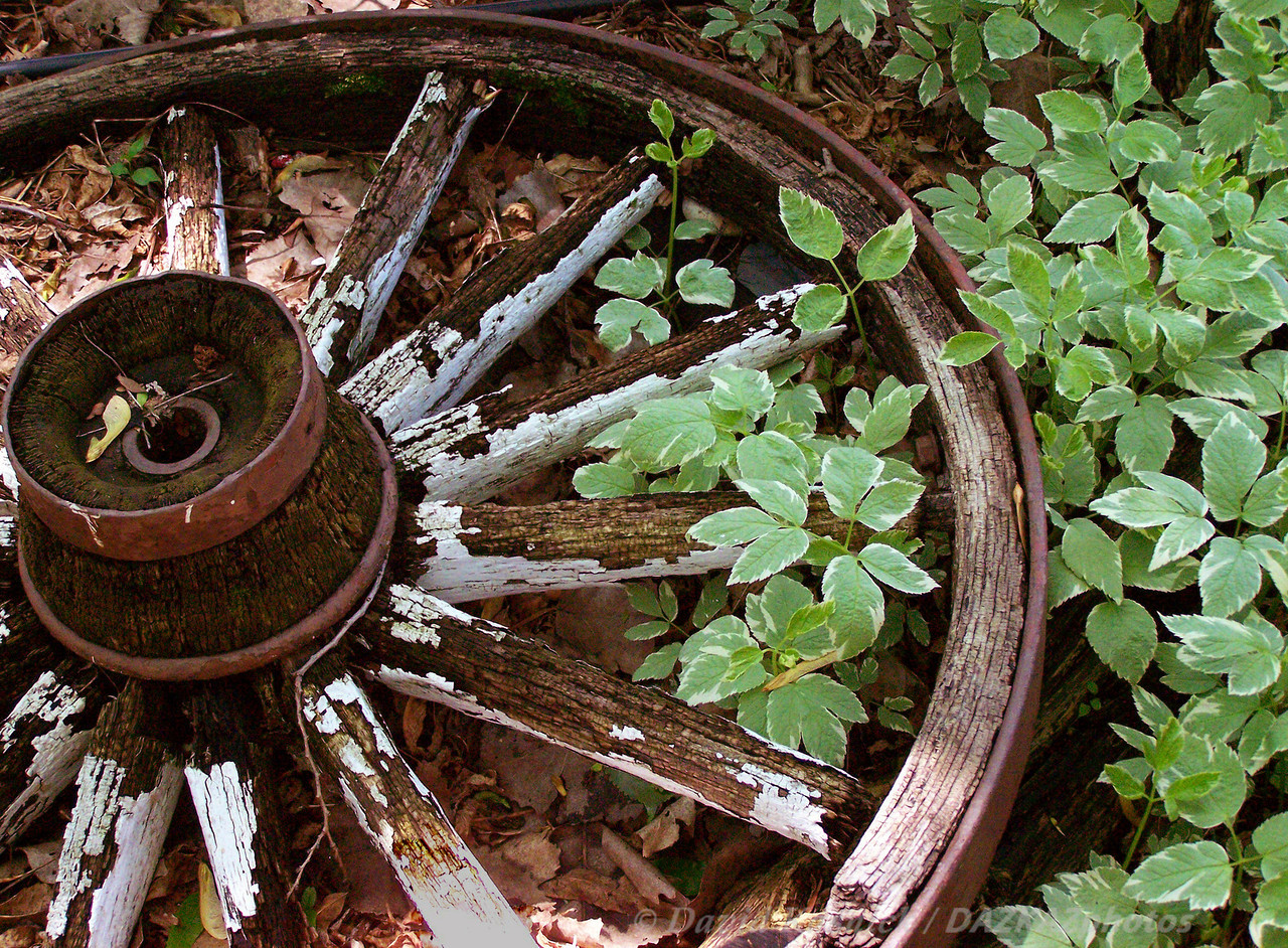 Bishop's Weed with Wagon Wheel - Backyard Garden