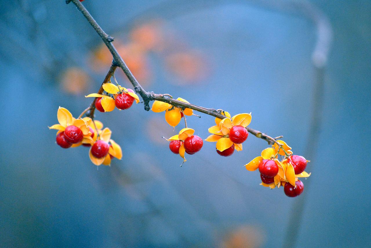 Red Berries - Waterfall Glenn, Darien, IL