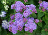 Blue Ageratum - Backyard Garden
