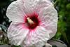 Hibiscus - Glen Ellyn, IL