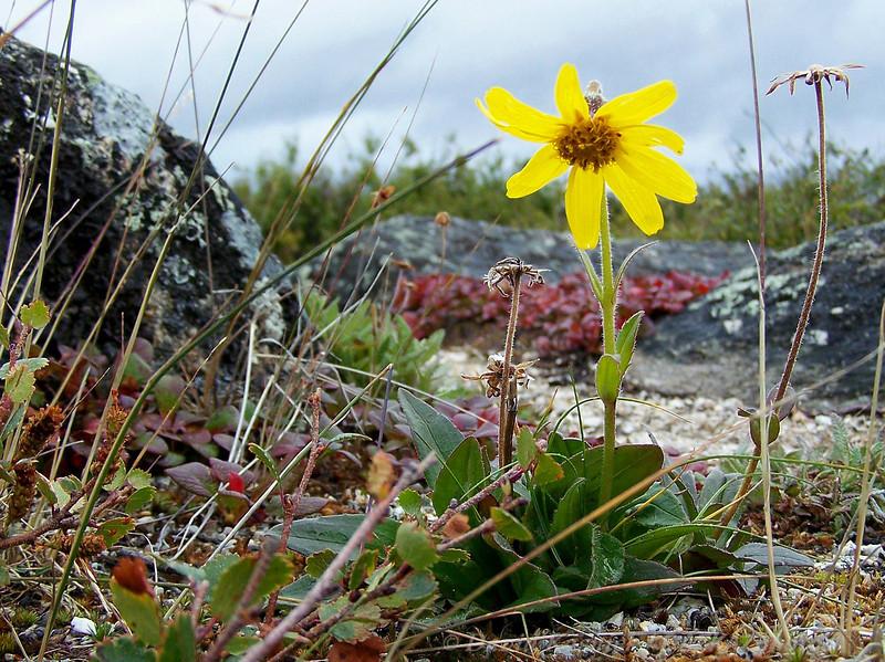 Arctic Flower - Dalton Highway, AK