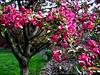 Flowering Crab 1 - Backyard Garden
