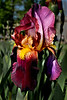 Purple Iris - Missouri Botanical Gardens - St. Louis, MO