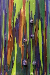 Eucalyptus Rainbow