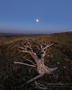 """IMPERFECT WORLD""Northern MontanaA gnarled old tree looks over a high plateau toward the rising moon.© Chris Moore - Exploring Light PhotographyPURCHASE A PRINT"