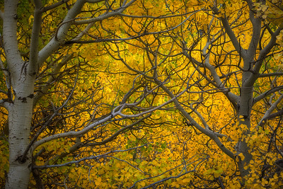 """CANOPY OF LIGHT""Glacier NPSoft light highlights vibrant autumn colors in East Glacier Park.© Chris Moore - Exploring Light PhotographyPURCHASE A PRINT"