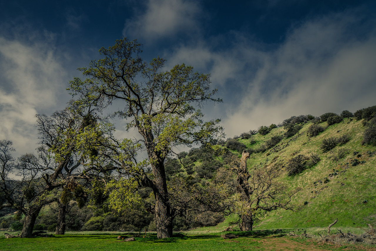 Valley Oak Trees at Fort Tejon