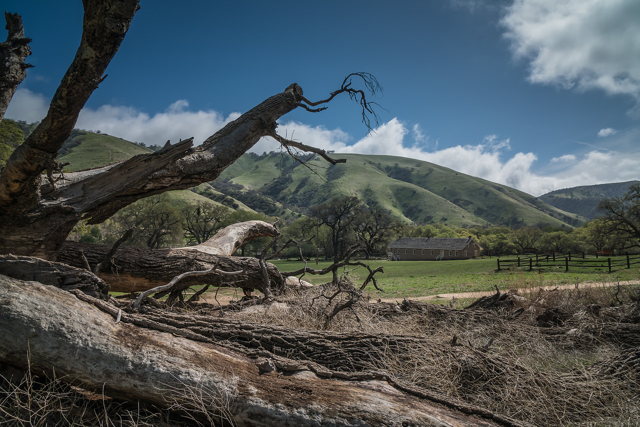 Fallen Oak tree at Fort Tejon