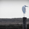 lone egret