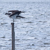 osprey meal