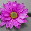 color blast daisy
