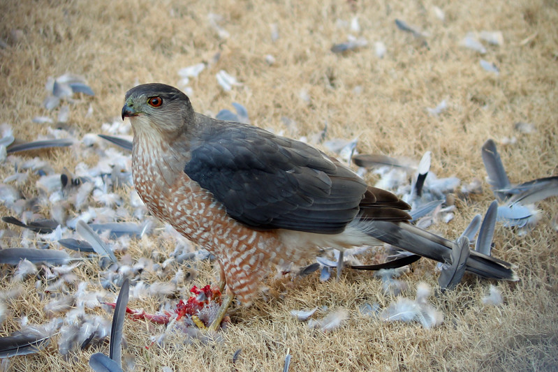 cooper's hawk eating