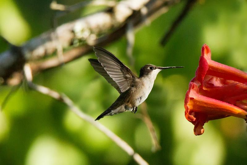 JHP 20170818-16629 ruby-throated hummingbird