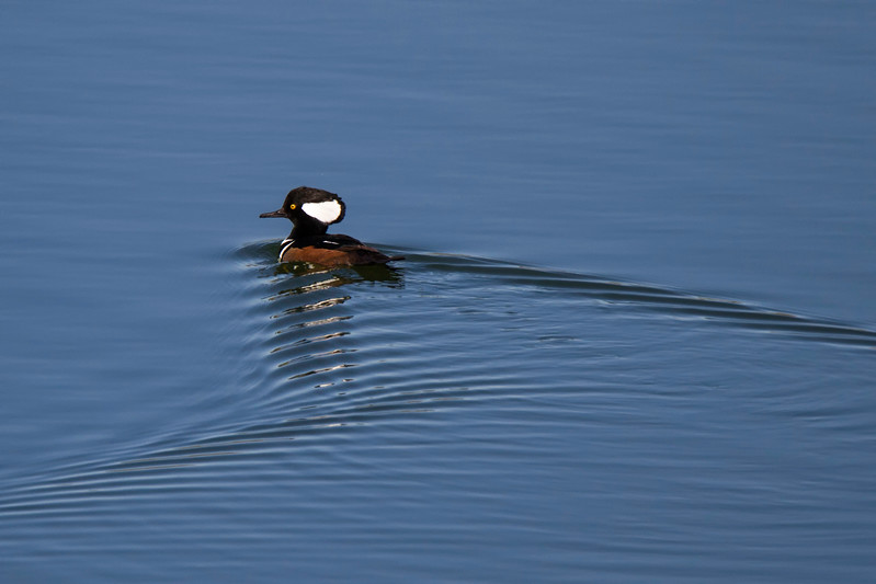 JHP 20171110-16 hooded merganser