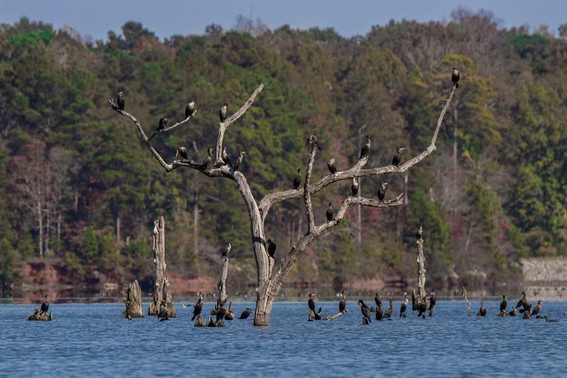 JHP 20171110-443 cormorant tree