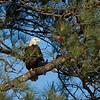 JHP 20180123--14 bald eagle