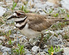 JHP 20170513-8598 killdeer with eggs in road
