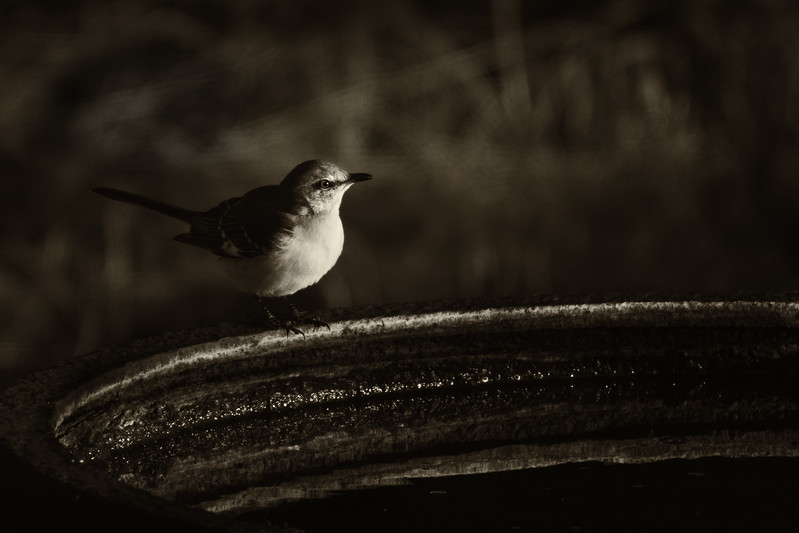 JHP 20180131--286 mockingbird