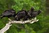 JHP 20170505-7241 4 vultures