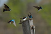 JHP 20170325-4213 tree swallows
