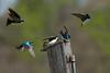 JHP 20170325-4213 tree swallows