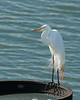 JHP 20170602-10271 great egret