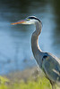 JHP 20170507-8274 great blue heron