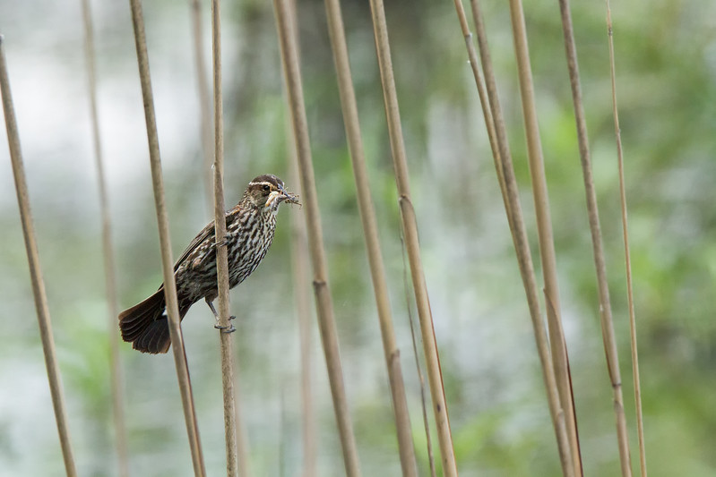 JHP 20170518-8841 female red winged blackbird