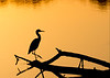JHP 20170818-16225 little blue heron silhouette