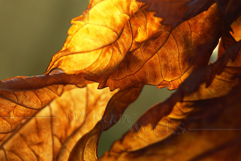 """Twisted Backlit Hydrangea Leaf in November - 12""""x18"""" Print format   (Already framed; no photo yet available of finished piece)"""