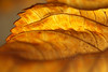"Backlit Hydrangea Leaf Edge in November - 12""x18"" Print format   (Already framed; no photo yet available of finished piece)"