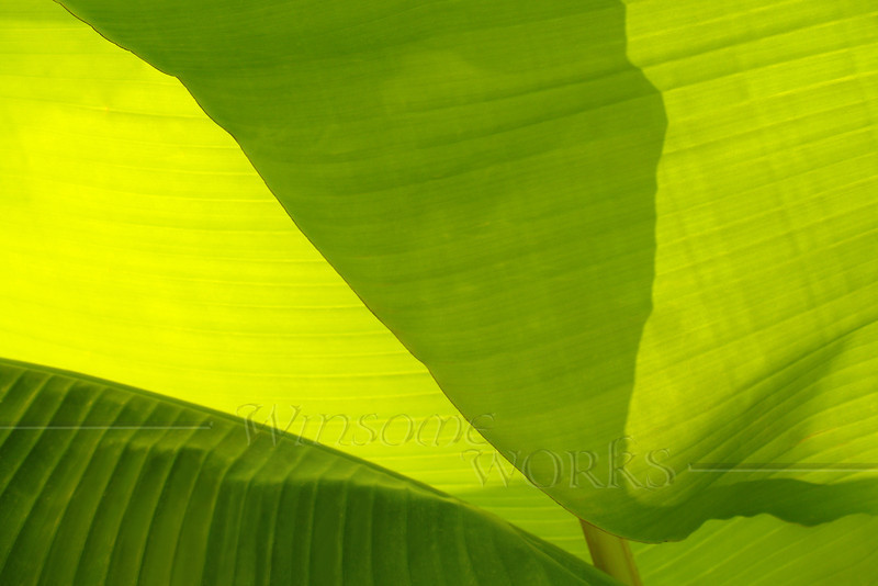 "Backlit Banana Plant - Fairview, North Carolina - 8"" x12"" Print Format  (Not yet matted or framed)"