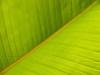 Banana Leaf Macro