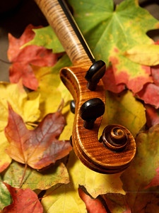 Maple Violin Scroll on Autumn Maple Leaves