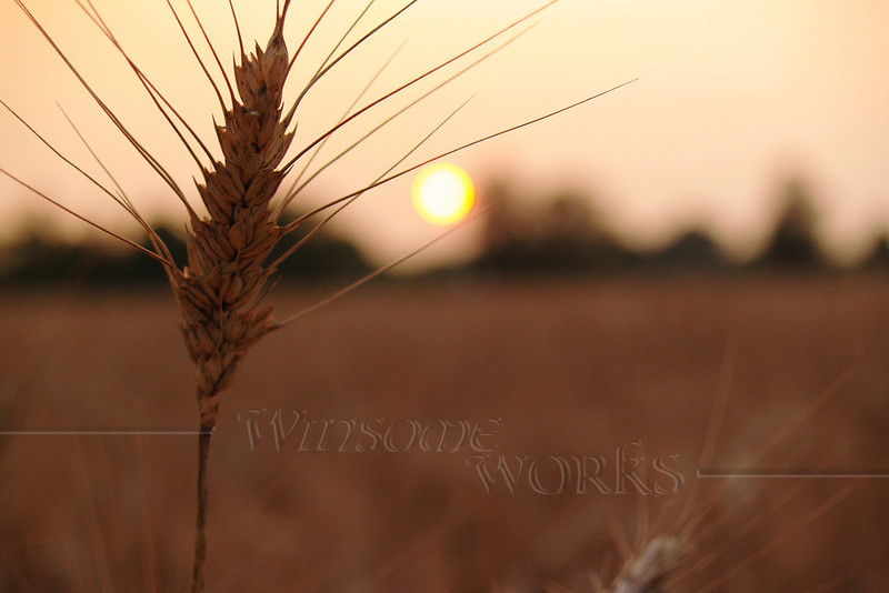 """""""Barley Holding the Setting Sun in Autumn"""",  Milford, PA - 12""""x18"""" Print Format  (Not yet matted or framed, but I have these materials on hand)"""