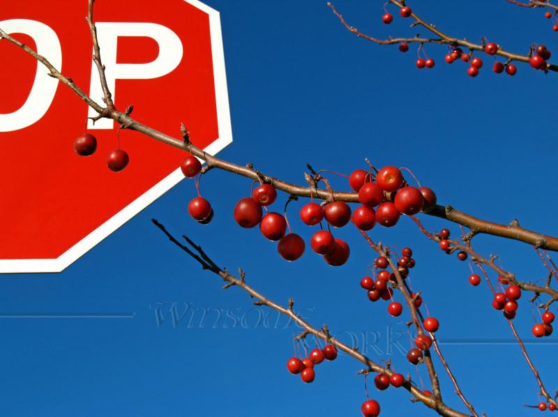 "Ornamental Crabapples STOP; November, Quakertown, PA -- Large 16x20"" Print"