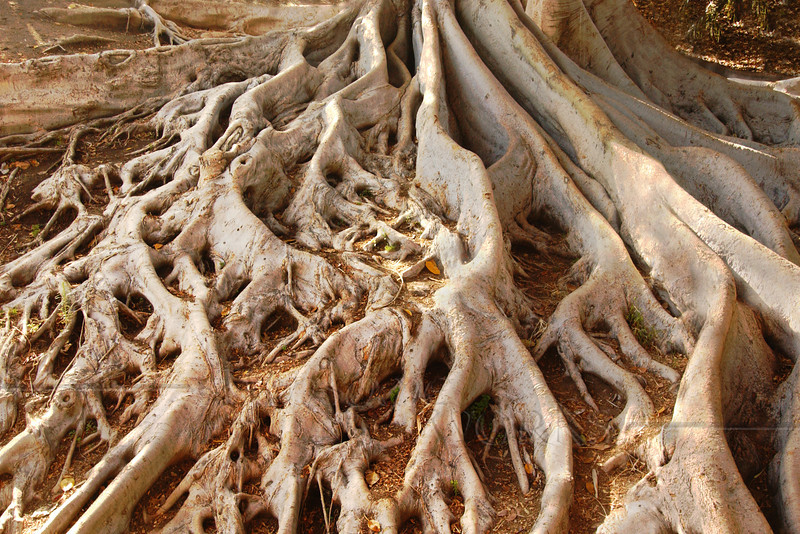 """Moreton Bay Fig Roots"", Balboa Park, CA  -12""x18"" Print Format (Not yet matted or framed, but I have these materials on hand)"