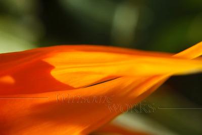 """Bird-of-Paradise Flower"" (Strelitzia reginae) - San Diego, CA - 12""x18"" Print Format (not yet matted or framed)"