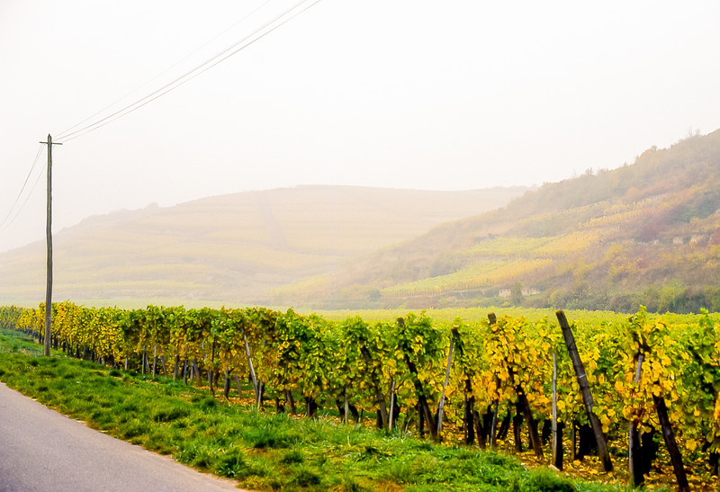 Vineyard in Autumn<br /> Alsace, France - After the harvest, on the Route du Vin d'Alsace. Fall is always quite foggy and damp. 1978