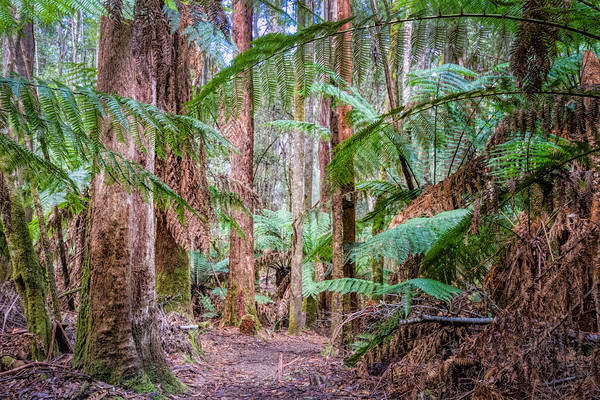 Deep in the Forest, Mount Field National Park, Tasmania