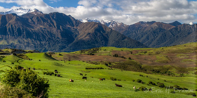 Cattle and Mountains, neaer Lake Hawea, New Zealand