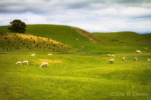 Grazing Sheep, North Island, New Zealand