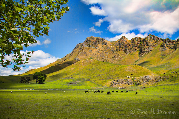 Grazing below Craggy Range, Hawkes Bay, New Zealand