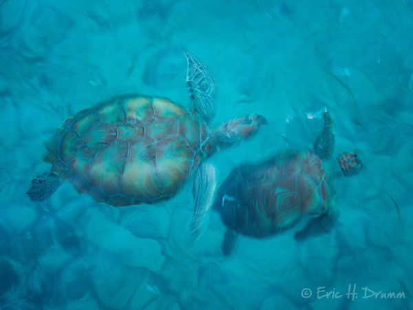 Turtles, Oistins, Barbados
