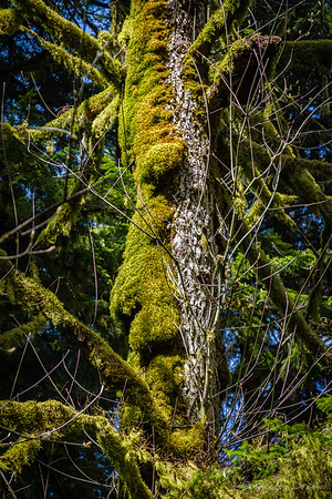 Face in the Trees, Cathedral Grove, Vancouver Island, British Columbia