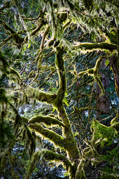 Afternoon Light on Mossy Trees, Cathedral Grove, Vancouver Island, British Columbia