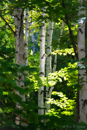 Birch Trees, Almaquin Highlands, Ontario