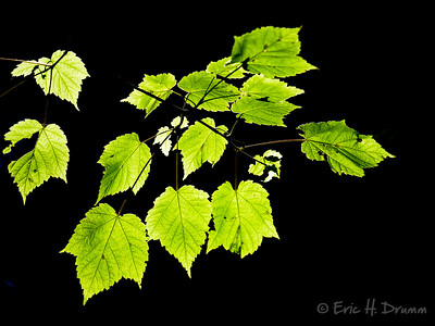 Backlit Leaves, Haliburton