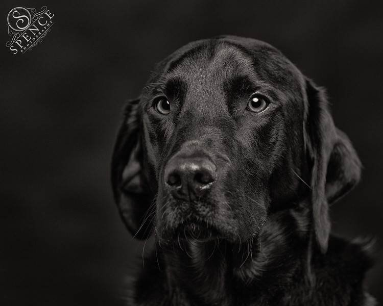 Tye - studio portrait of a black labrador on black.