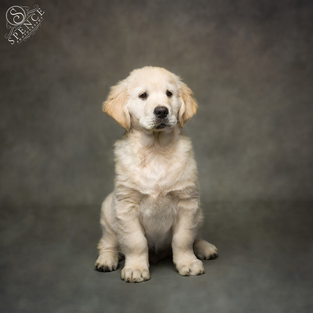 Noddy (10 week Golden Retriever puppy)